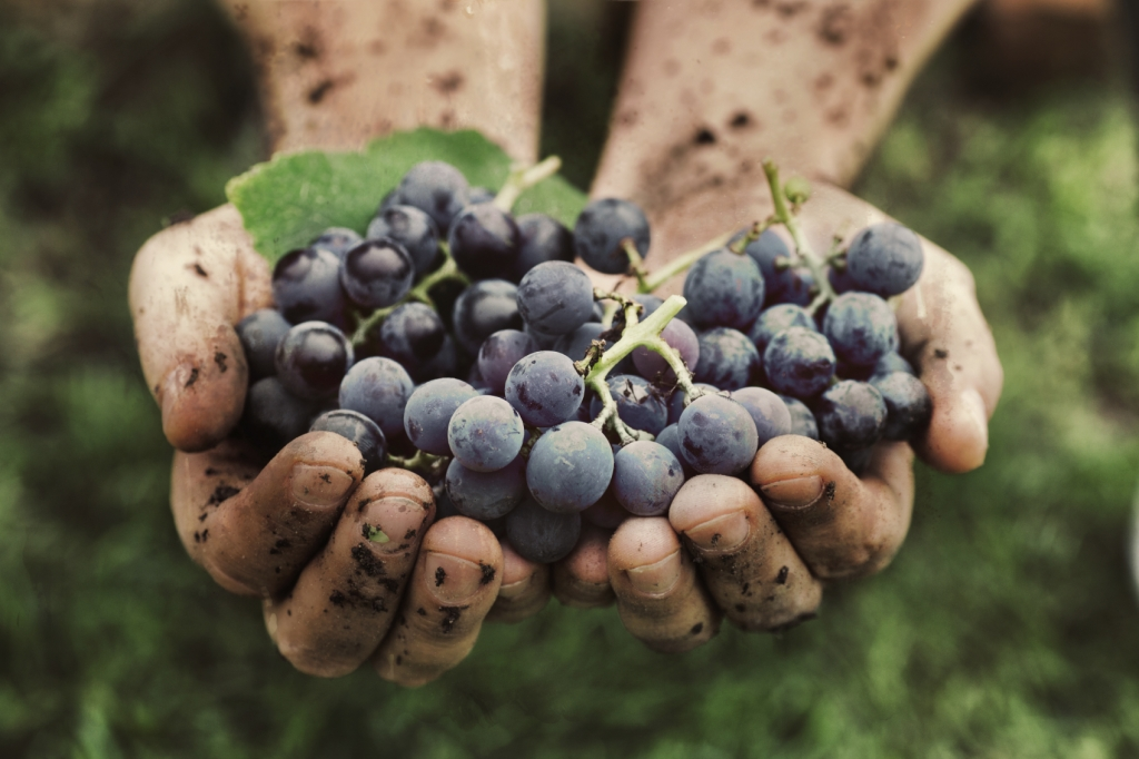 Cosecha de uvas. Manos de los agricultores con uvas negras recién cosechadas.