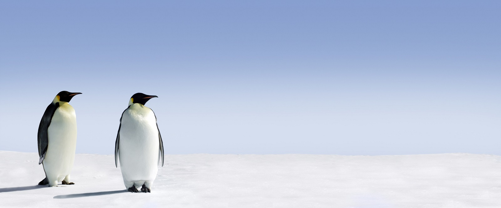 Penguins standing in the snow with lots of copy space